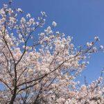 庭に植えたい桜の木と芝桜苗の種類