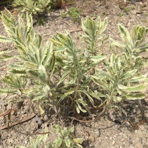 ラベンダー栽培と苗の種類