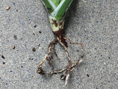 ブラックテオーサ 斑入り 白覆輪(bracteosa variegated)