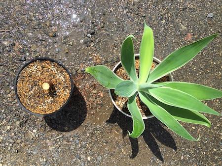 上から見た植え付け後の斑入りアガベ