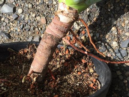 横から根が出ている斑入りアガベ