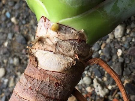 新しい芽が横から出ている写真