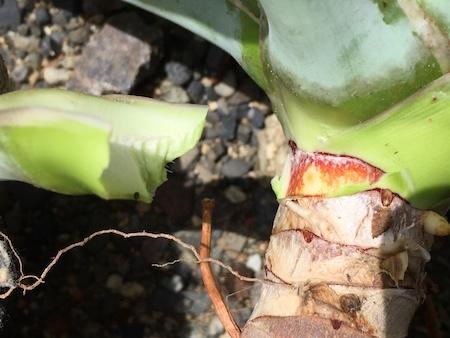斑入りアガベ