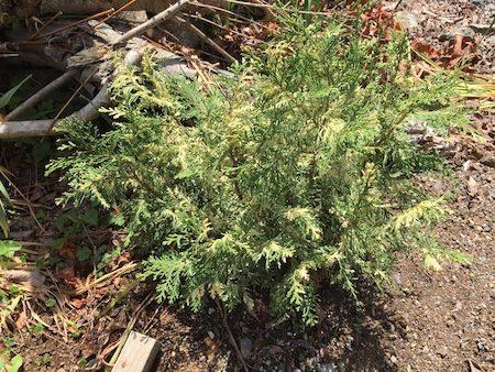 斑入りコニファー(Conifer variegated)