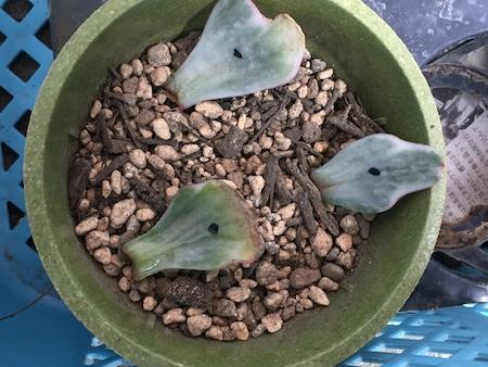 植物ホルモンを塗ったパークレー錦