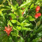 ザクロの品種と栽培