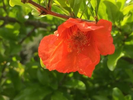 開花したザクロの花の写真