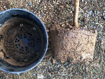 ジャボチカバ『ビッグワン』の根の写真