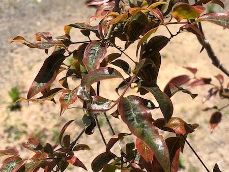 葉が緑色に変色してきたジャボチカバの写真