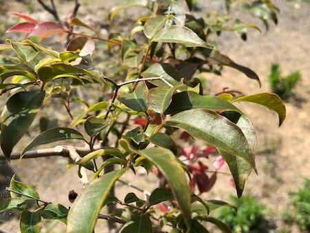葉が緑色になったジャボチカバの写真