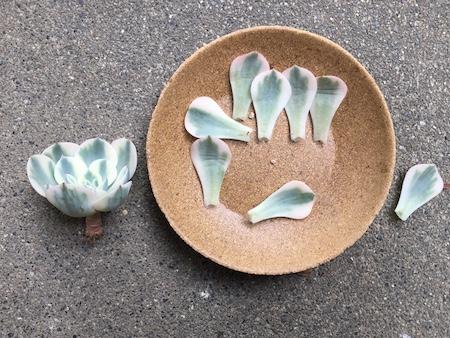 ルノーディーンの葉を回収した写真