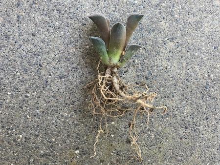 土を落とした後のピグマエアの写真