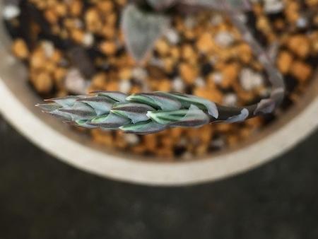 ハオルチアの花芽先端写真