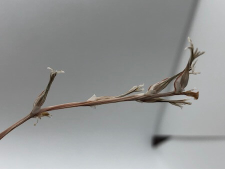 ピグマエアの種拡大写真