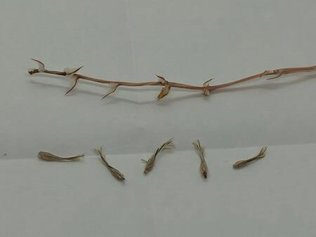 ピグマエアの種を分離した写真