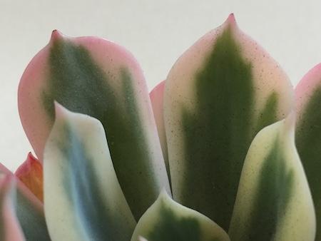 インブリカータ錦の葉の先端写真