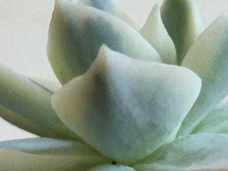 サブセシリス錦の葉裏拡大写真