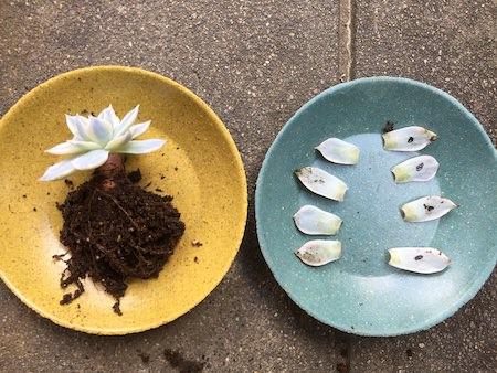 サブセシリス錦の葉回収写真