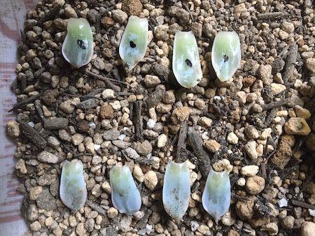 サブセシリス錦の葉挿し写真