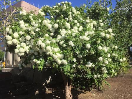 庭に植えたい春に咲く白い花の種類