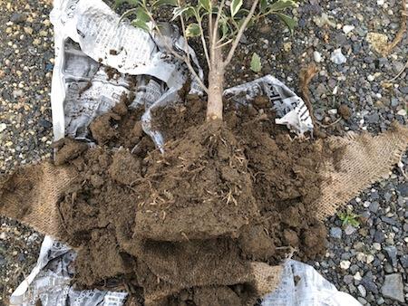 土を少し落とした苗写真