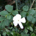 ジャスミンの種類と栽培例