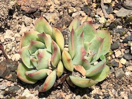 シムランス交配種が葉挿しから大きくなった写真1