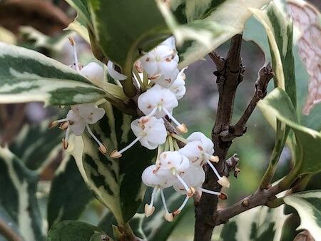 花が咲いた斑入りヒイラギの拡大写真