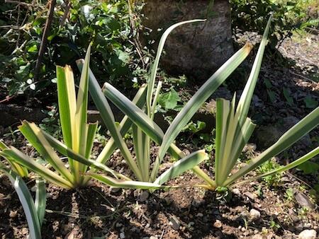 植えつけた斑入りの葉物写真