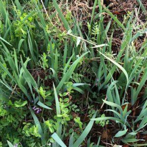 増殖した宿根草の写真