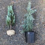 庭に植えたいブルー系コニファーの種類と特徴