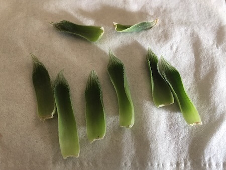 乾燥してしまったベヌスタの葉挿し写真