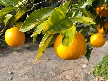 栽培中のブラッドオレンジの写真