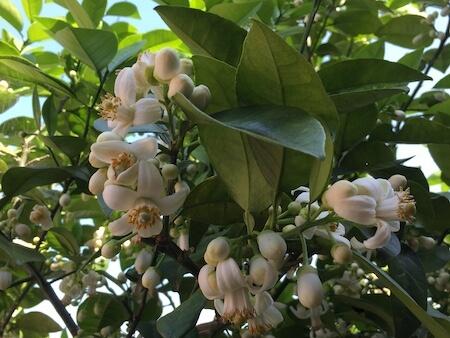 グレープフルーツの開花写真