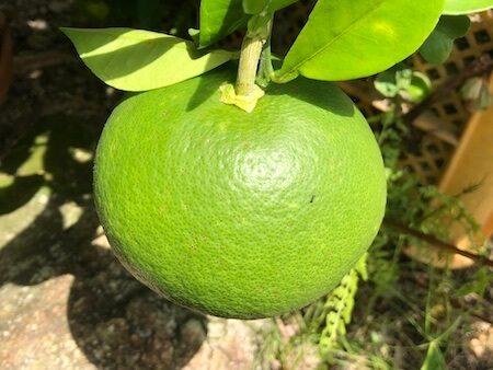 日本での早生グレープフルーツ栽培