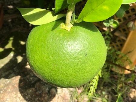 肥大しているグレープフルーツの果実写真