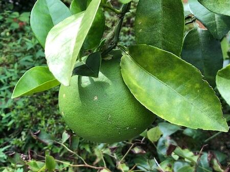 横に大きくなり始めたグレープフルーツの果実写真