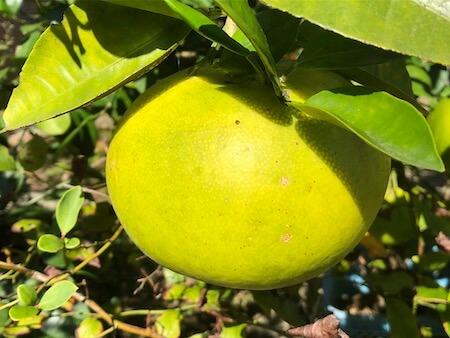 黄色くなりはじめたグレープフルーツの写真