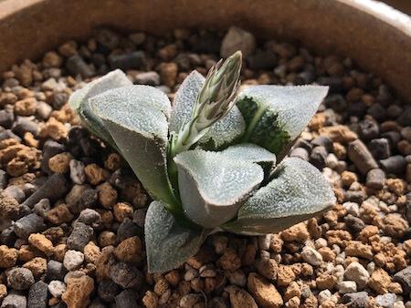 花芽が出たピグマエア 錦の写真②