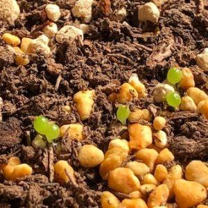 コノフィツム『翡翠玉』の種まきと育て方記録