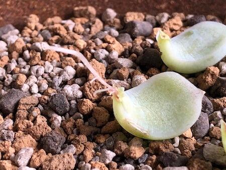 根が成長し、芽も出てきているアルバの写真
