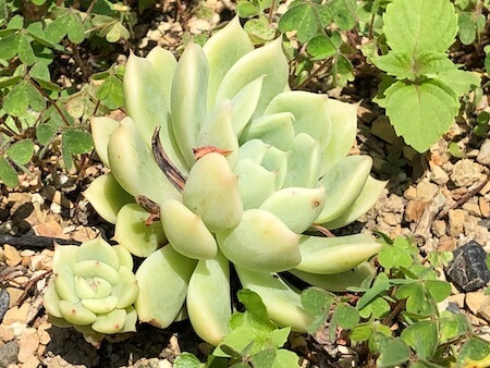 アルバとピンクザラゴサを交配した品種を地植えした写真