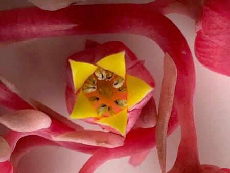 エケベリアの花を先端から見た写真