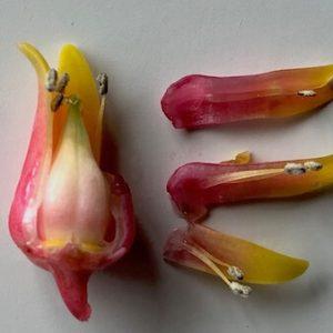 エケベリアの花と交配
