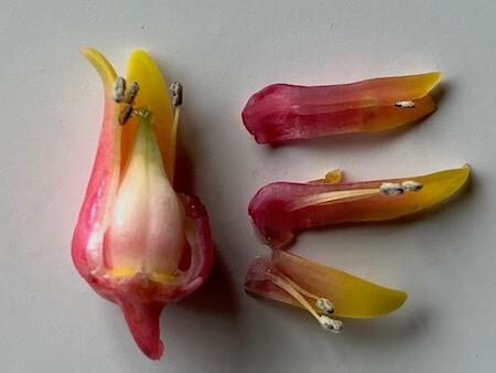 エケベリアの花を分解した写真