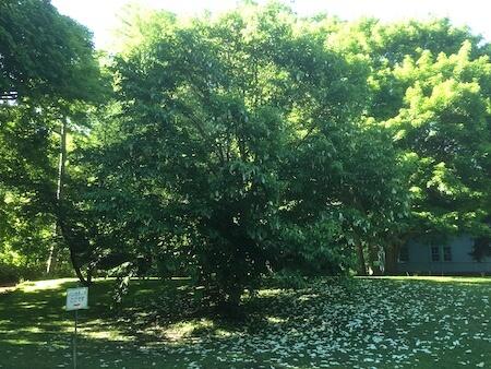 北大植物園のハンカチの木写真