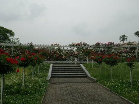 長居植物園のバラ写真
