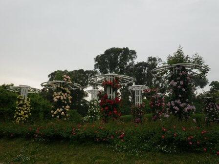 長居植物園のバラ写真3