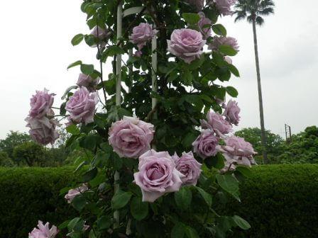 長居植物園のバラ拡大写真