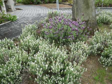長居植物園のバーブ写真2